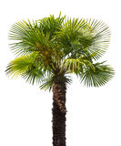 Green small palm tree isolated on white Royalty Free Stock Images