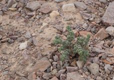 Green small plant in the desert. Green small plant grows in the desert Royalty Free Stock Photography