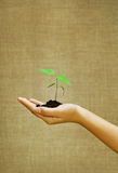 Green small plant on female hand Royalty Free Stock Images