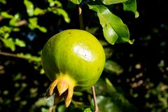 Green small pomegranate on tree in the garden. Green small pomegranate pome granet fruit grow on tree in the garden stock photos