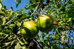 Green small pomegranates on tree in the garden. Green small pomegranate pome granet fruit grow on tree in the garden royalty free stock photography