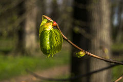 Green small sheet on the tree. On spring day Royalty Free Stock Photo