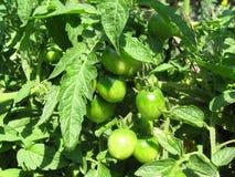 Green small tomatoes closeup Stock Photos
