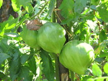 Green small tomatoes closeup Stock Photo