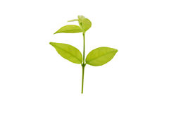 Green small tree isolated on white background with clipping path Royalty Free Stock Image