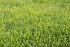 Wheat growing in farmland stock photo
