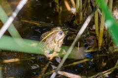 Green Smiling Frog Stock Image