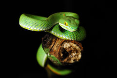 GREEN SNAKE. From Chedkhod nation park, Thailand royalty free stock image
