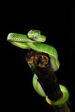 GREEN SNAKE. From Chedkhod nation park, Thailand Royalty Free Stock Images