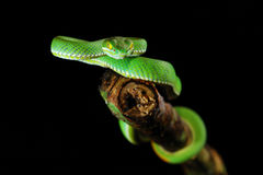 GREEN SNAKE. From Chedkhod nation park, Thailand Royalty Free Stock Photo