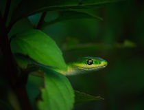 Green Snake. In a bush Royalty Free Stock Photography