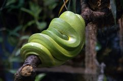 Green snake. A green garden snake on a branch royalty free stock image