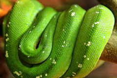 Green snake Royalty Free Stock Photography