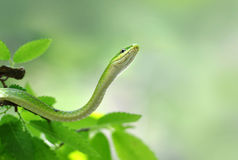 Green snake. Nonvenomous Green Snake sunning itself on a shrub Royalty Free Stock Image