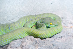 Green Snake. Big-Eyed Pit Viper ,Trimeresurus macrops Green Snake Royalty Free Stock Photo