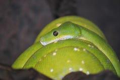 Green snake. In Helsinki Zoo Stock Image