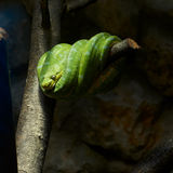 Green snake Stock Image