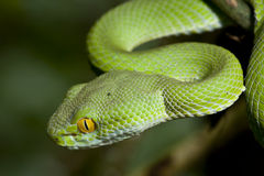 Green Snake. At the forest in Thailand Royalty Free Stock Photos
