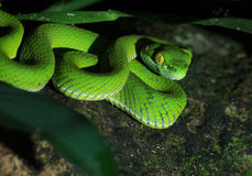 Green snake. In forest Thailand stock images