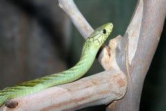 Green Snake Royalty Free Stock Photo
