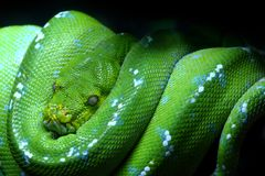 Green snake. A beautiful Green snake full color Royalty Free Stock Photography