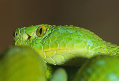 Green Snake Royalty Free Stock Photos