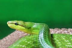 Green snake Stock Photos