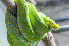 Green Snake. Resting wild green snake on a branch Royalty Free Stock Image