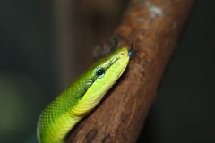 Green snake. In front of dark background royalty free stock images