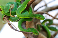 GREEN SNAKE Royalty Free Stock Images