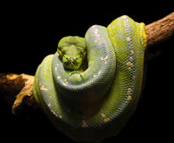Green snake. Fine close up image of green snake wild animal background Stock Photography