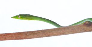 Green snake. Isolated green snake on branch royalty free stock image