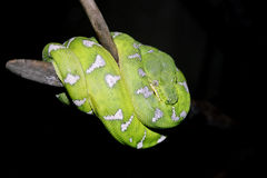 Green snake. Curled up on a branch royalty free stock photography