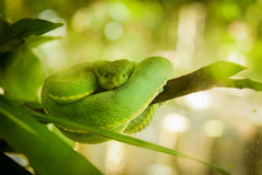 Green snake at Amazon Forest Royalty Free Stock Photos