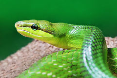 Green snake. Beauty green snake close up Royalty Free Stock Photography
