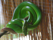 Green snake with big eyes. Snake farm. Green snake is looking away stock images