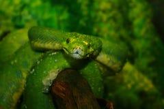 Green Snake Boa Stock Photography