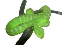 A green snake on a branch Royalty Free Stock Photography