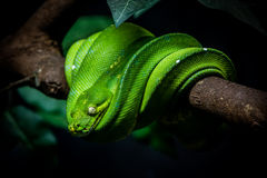 Green snake is on a branch Stock Photo