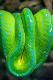Green Snake on a Branch. Dangerous Exotic Shake Sitting on a Woo Stock Images