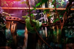 Green snake on the branch stock photo