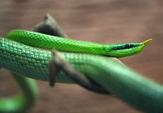 Green snake. Stock Image