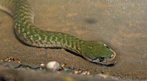 Green snake, Checkered Keelback Stock Images