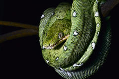 Green snake coiled amazon jungle boa reptile  Stock Image