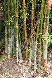 Green snake creeps in bamboo Royalty Free Stock Image
