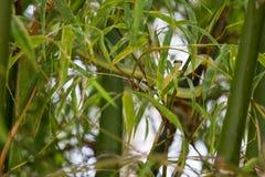 Green snake creeps in bamboo Stock Photo