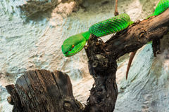 Green Snake creeps on tree Royalty Free Stock Images