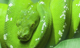 Green snake curled up on a branch royalty free stock images