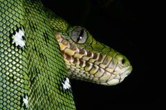 Green snake Emerald boa rainforest reptile serpent Stock Image