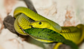 Green snake in a forest Royalty Free Stock Photos